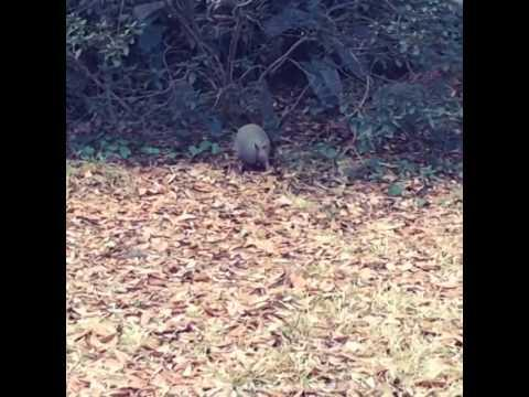 Armadilo Collecting Leaf Set To Michael Jackson's Billy Jean Song