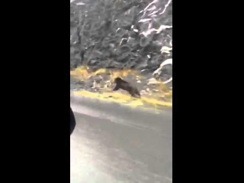 Why You Can't Outrun A Grizzly Bear