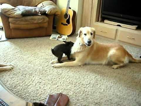 Golden Retriever Vs The Bunny