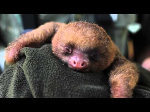 Cute - Sleeping Baby Sloth