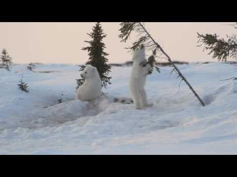 Cute - Play Fighting Polar Bear Cubs