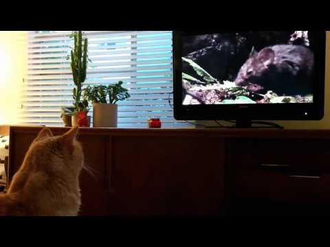 Cat That Doesn't Like To Go Outside Watches TV
