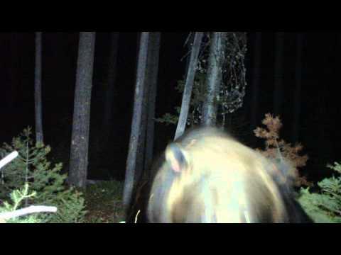 Grizzly Bear Attacks The Camera In Idaho