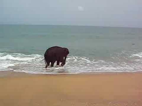 Cute - Baby Elephant Goes To The Beach