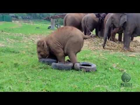 Playful Baby Elephant Vs Tires