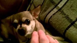 Chihuahua Vs Hand