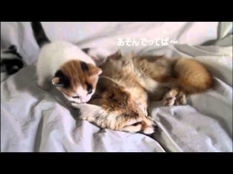 Cute - Adorable Kittens Cuddling With The Fox