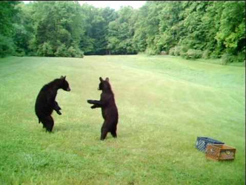 Cute - Play Fighting Bear Cubs
