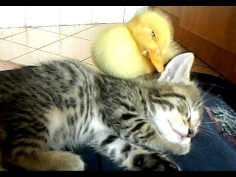 Cute Duckling Falls Asleep On The Cat