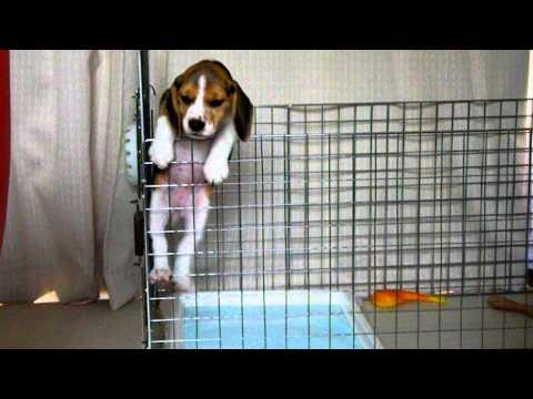 Cute - Beagle Puppy Tries To Escape