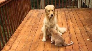 Golden Retriever Vs The Cat