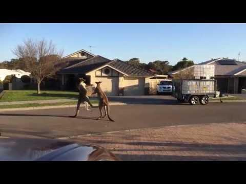 Fight Breaks Out Between Kangaroos In Australia