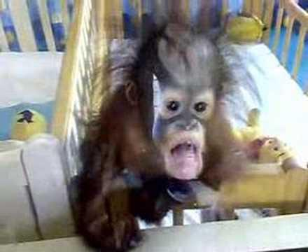 Cute - Baby Orangutan
