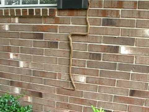 Amazing - Snake Finds A Way To Climb Brick Walls