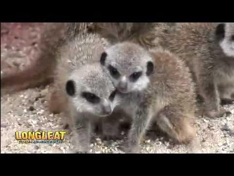 Cute - Baby Meerkats