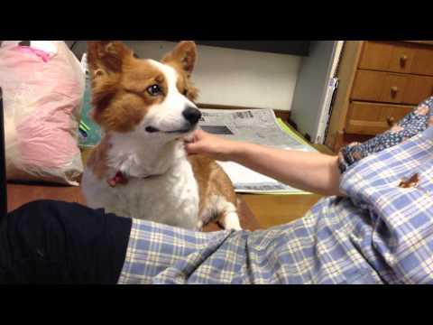 Cute Corgi Asks To Be Petted