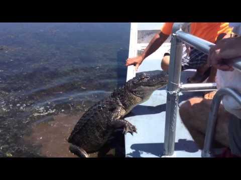 Crazy Guy Vs Alligator