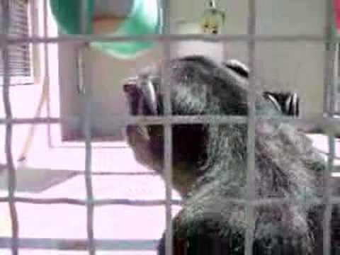 Cute - Talking Chimpanzee Says Momma