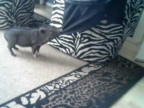 Cute - Tea Cup Pig Plays With Jacket
