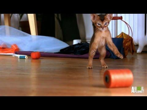 Playful Abyssinian Kittens