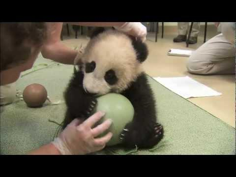 Cute - Baby Panda And The Ball