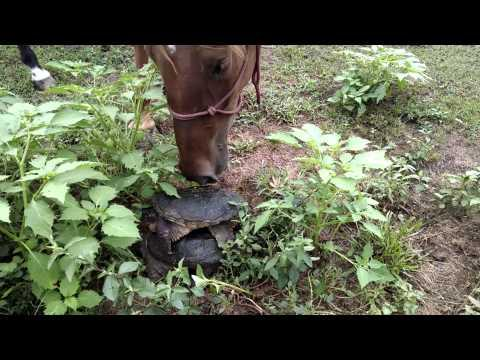 Curious Horse Vs The Turtle