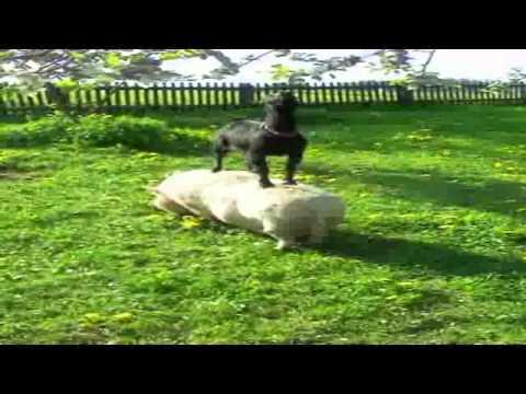 Goat Climbs On The Pig To Get Food