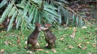 Cute Fight Between Pademelons