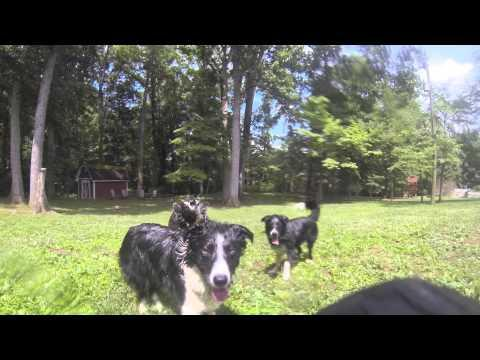 Border Collies Vs The Garden Hose