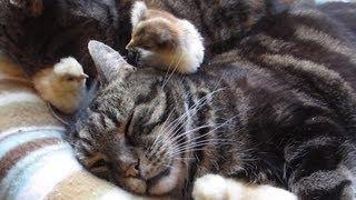 Cute Chick Cleans Cat's Ear