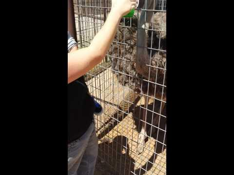 Toddler Finds The Ostrich Really Funny