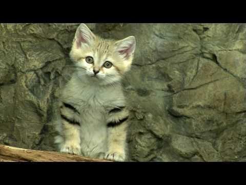 Cute - Sand Cat Kittens