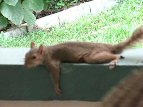 Cute - Squirrel Planking