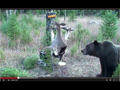 Grizzly Bear Vs The Electrified Deer