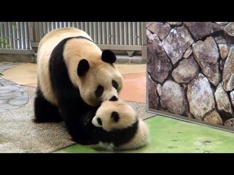 Cute - Mother Panda Takes Baby Panda Back