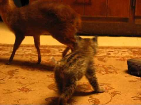 Cute - Kitten Plays With A Baby Deer
