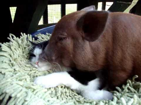 Jokes - Pig Grooms The Cat