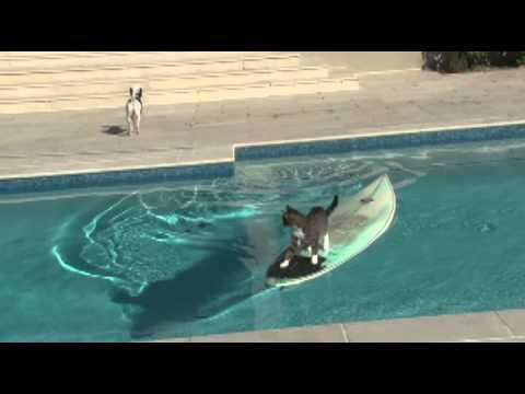 Jokes - Cat Hops On The Surfboard