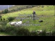 Amazing Sheep Herding Border Collies