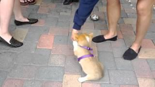 Corgi Puppy Gives High Five