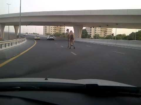 Jokes - Camel On The Highway