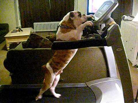 Jokes - Dog Exercising On Treadmill Like A Human