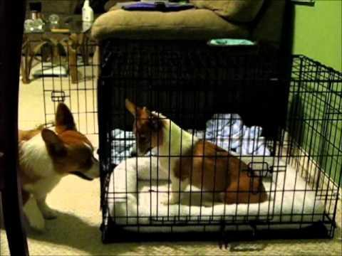 Cute - Corgi Dog Helps A Sibling Escape From Cage