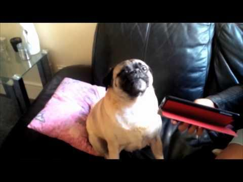 Pug Sounds Like It's Asking For Hep