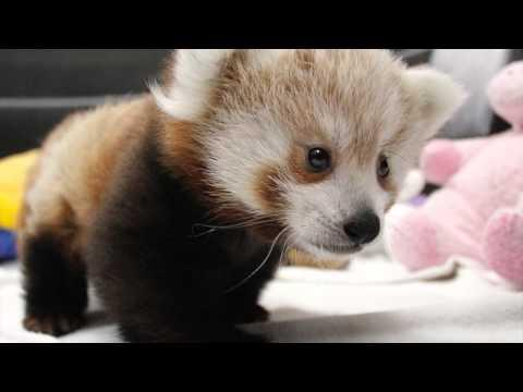 Cuteness Overload With Red Panda Cubs