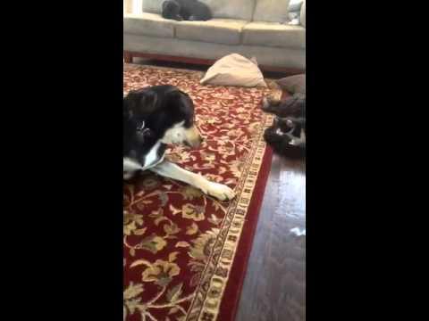 Cute - Playful Kitten Fights The Dog