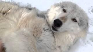 Pet Wolf Enjoys Belly Rub