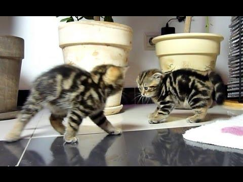 Cute - Playful Kittens Fighting