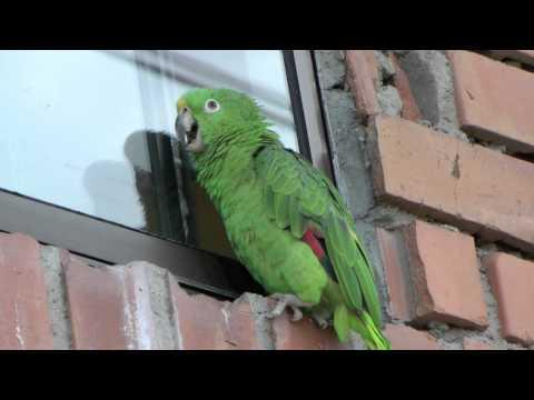 Cute - Singing Parrots Outside The Window