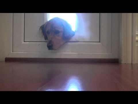 Wet Dog Plays With Emotions To Come Inside The House